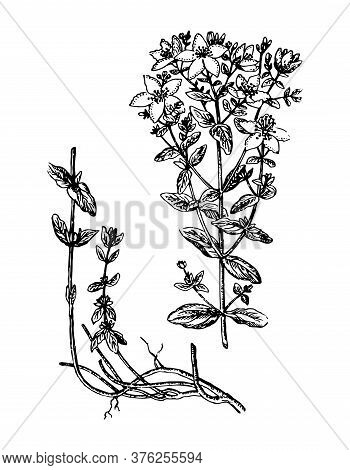 St. Johns Wort Branch With Flowers, Root And Leaves On Isolated Background. Plant Hypericum Sketch F