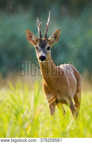 Roe Deer Buck Standing On Grass Backlit By Evening Light From Front View.