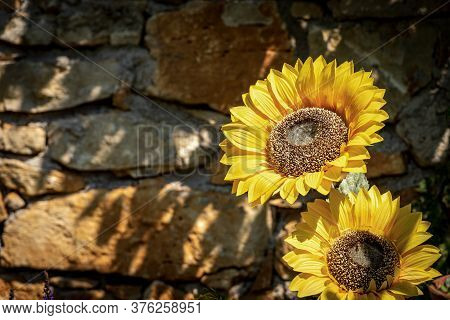 Closeup Fo Two Sunflower Flowers (helianthus), On A Stone Wall In A Garden