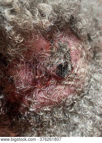 Dog Skin Infection