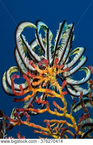 Sea Lily (feather Star) On Top Of Hard Coral. Underwater Macro Photography, Philippines.