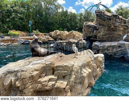 Orlando, Fl/usa-7/12/20: A Sea Lion Resting On A Rock At The Pacific Point Preserve Area At Seaworld