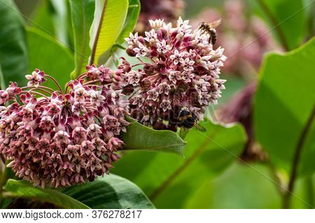 Botanical Collection Of Insect Friendly Or Decorative Plants And Flowers, Asclepias Syriaca Or Milkw