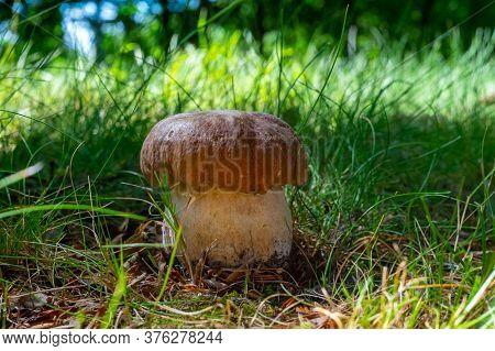 King Of Tasty Edible Mushrooms, Boletus Edulis Porcini Cepe Growing In Forest