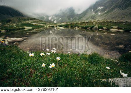 Daisies On The Shore Of Lake Hincovo Pleso.