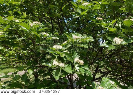 Crown Of Blossoming Sorbus Aria Tree In Mid May