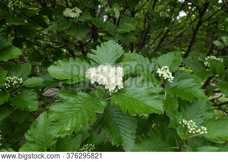 First White Flowers Of Sorbus Aria In May