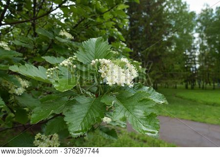Half Opened White Flowers Of Sorbus Aria In May