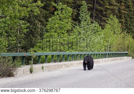 A Black Bear Walks Along An Asphalt Road. Coniferous Forest In The Background. Canadian Rockies, Jas