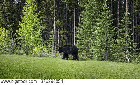 A Black Bear Walks Through The Bushes. Coniferous Forest In The Background. Canadian Rockies, Jasper
