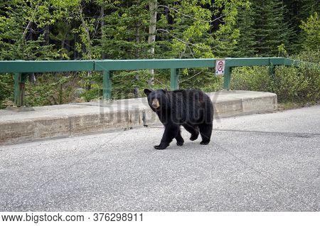 A Black Bear Walks Along An Asphalt Road. Coniferous Forest In The Background. Canadian Rockies, Jas