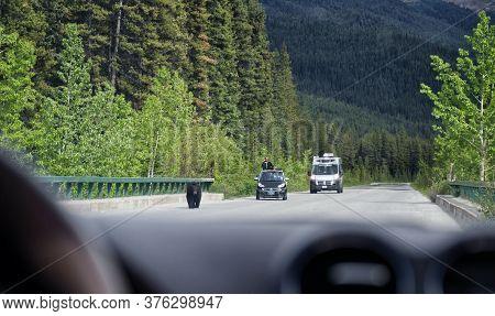 Jasper National Park, Alberta, Canada.  - June 5, 2018. A Black Bear Walks Calmly Along An Asphalt R