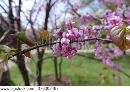 Tender Pink Flowers Of Cercis Canadensis In May