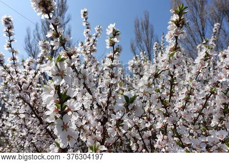 Clear Blue Sky And Blossoming Branches Of Prunus Tomentosa In April