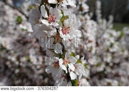 Closeup Of Blossoming Branch Of Prunus Tomentosa In April