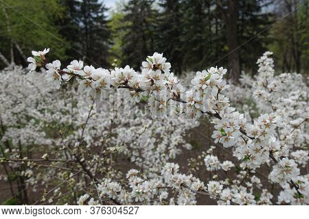 Curved Branch Of Blossoming Prunus Tomentosa In April