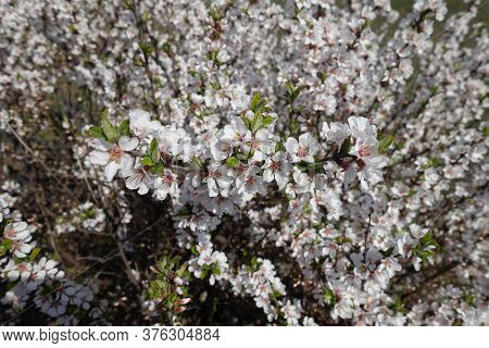 Five Petaled White Flowers Of Prunus Tomentosa In April