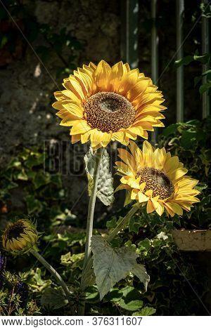 Closeup Fo Three Sunflower Flowers (helianthus), In A Garden