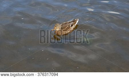 Mallard Duck Is Swimming In The Pond. The Duck Is Floating In The River And Look For Food. Migration