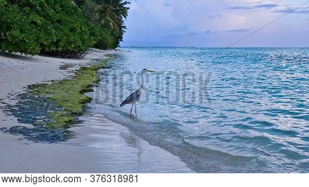 Maldives, Beach, Evening. In Aquamarine Water Near The Sandy Shore, A Heron Is Waiting For Prey. Blu