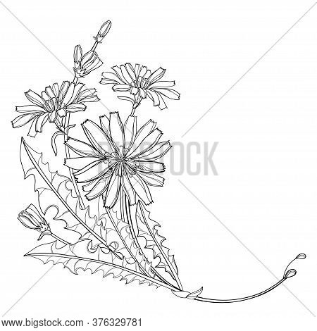 Vector Corner Bouquet Of Outline Chicory Or Cichorium Flower, Bud And Ornate Leaves In Black Isolate