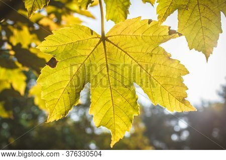 Fantastic And Wonderful Colors Of Autumn Forest Nature. Mapple Leaves