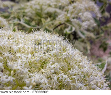 Picture Of A Fluffy White Flower Head Closeup