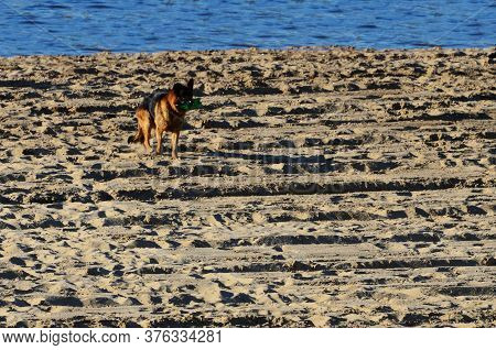 Dog Carries In His Teeth A Plastic Bottle On The Beach