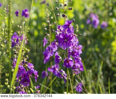 Wild Blue Flowers Delphinium Elatum. Larkspur Flowers. Summer Blooming Meadow. Flowering Field In Th