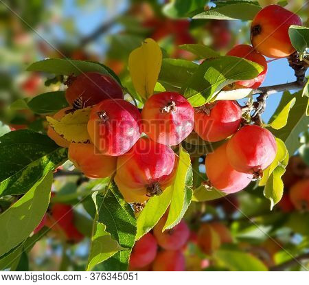 Apple Branches Background. Chinese Apple Tree Or Malus Prunifolia With Ripe Fruits. Apple Tree Branc