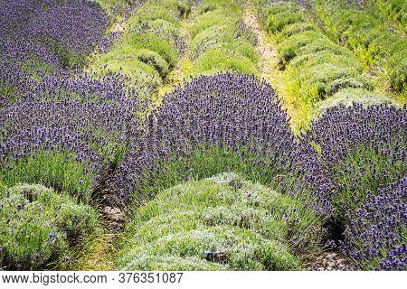 Lavender Field, Scented Purple Beautyful Plants In Bloom