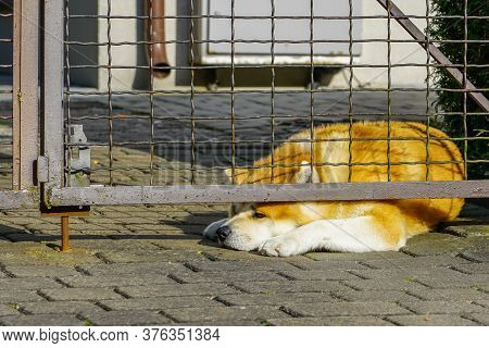 The Dog Is Lying On The Pavement Behind The Fence, The Muzzle Is Stuffed Outside