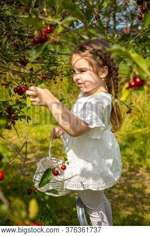 Pretty Girl Picks A Cherry From A Tree In Cherry Garden In Czech Republic