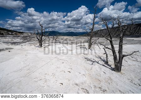 Bleached White Hot Springs And Terraces With Petrified Trees In The Mammoth Hot Springs Area Of Yell