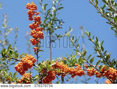 A Sprig Of Colorful Firethorn Berries Reach Toward A Clear Blue Sky.