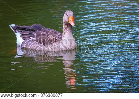 Wild Gray Goose Swims In A Lake With Green Water. The Greylag Goose Anser Anser Is A Species Of Larg