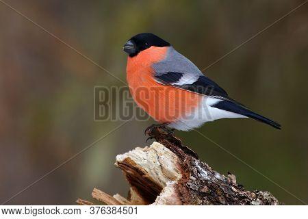 He Bullfinch, Common Bullfinch Or Eurasian Bullfinch ( Pyrrhula Pyrrhula) Sitting On The Branch With