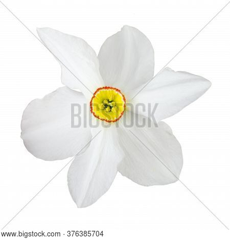White Daffodil Flower Close Up Isolated Without Shadow.