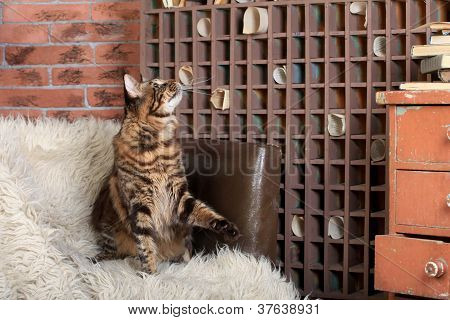 Brown Tabby Maine Coon in archive