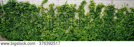 Green Ivy Climbing A White Brick Wall In A Garden Covering The Half Of The Building