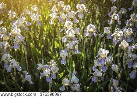 Flower Glade Of Irises