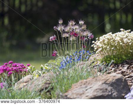 Spring Rock Garden In Full Bloom With Pulsatilla Pratensis Purple Violet Flowers, Pink Phlox, Armeri