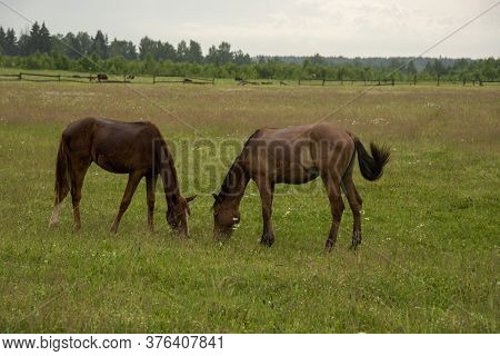 Two Young Foals Graze In A Field.