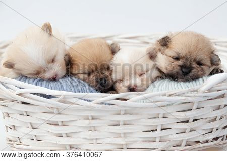 Adorable Pomeranian Spitz Dog Puppies Laying In A Rush Basket With Natural Light On A White Backgrou
