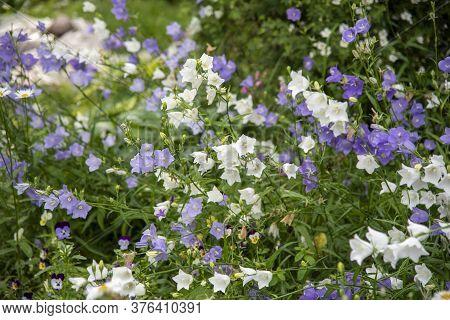 Full Frame Of Blooming Garden Bells, Purple And White.