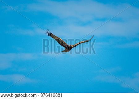 Tawny Eagle Glides With Clouds In Distance