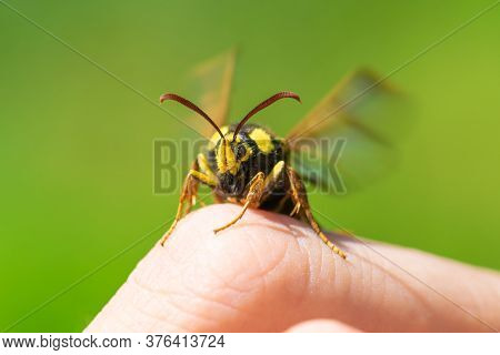 Macro View Of Hornet Moth Or Hornet Clearwing (sesia Apiformis) Sitting On Finger And Fluttering Win