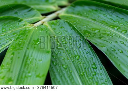Morning Water Dew Drops On The Green Bamboo Leaf. Water Raindrop On Bamboo Leaves In The Forest In T