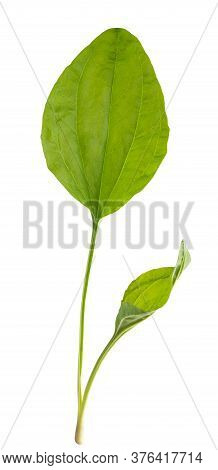 Broadleaf Plantain Leaves  Isolated On White Background