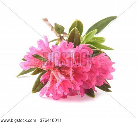 Rhododendron Ferrugineum,rusty Leaved Alpenrose Isolated On White Background